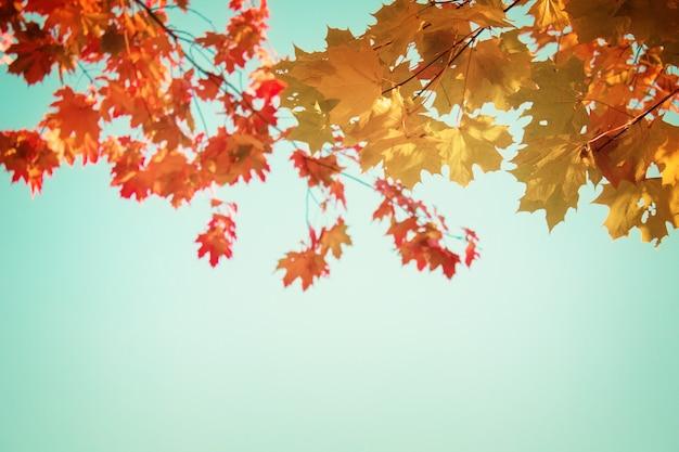 Желтые кленовые листья в осеннем парке на ярко-синем небе, тонированное ретро
