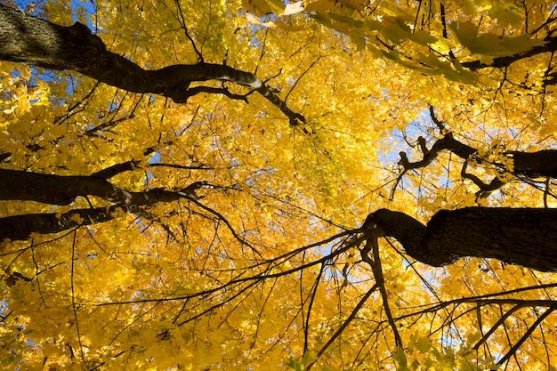 Желтые кленовые листья в лесу