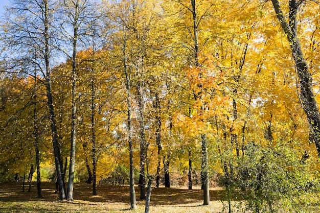 Желтые кленовые листья в солнечном лесу в осеннем парке, настоящая осенняя природа