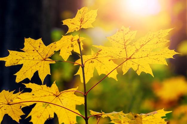 明るい日光の下で秋の森に黄色いカエデの葉