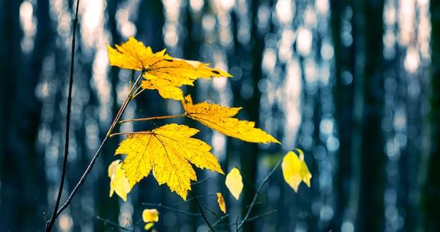 Желтые кленовые листья в осеннем лесу на фоне голых деревьев