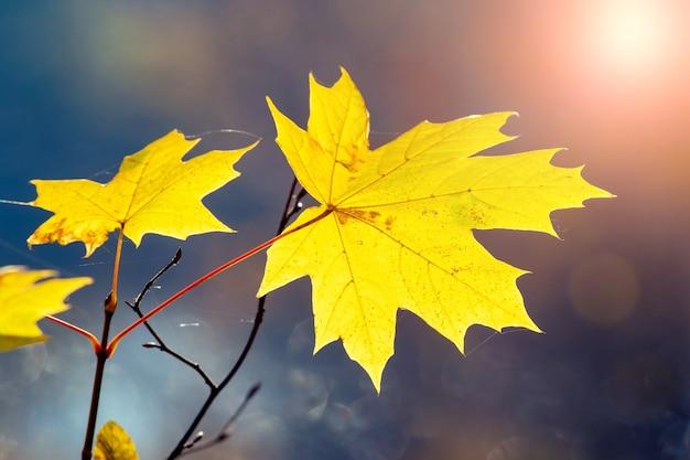 ぼやけた背景の森に黄色いカエデの葉
