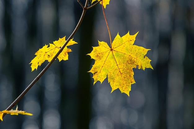 暗い背景の森の黄色いカエデの葉をクローズアップ