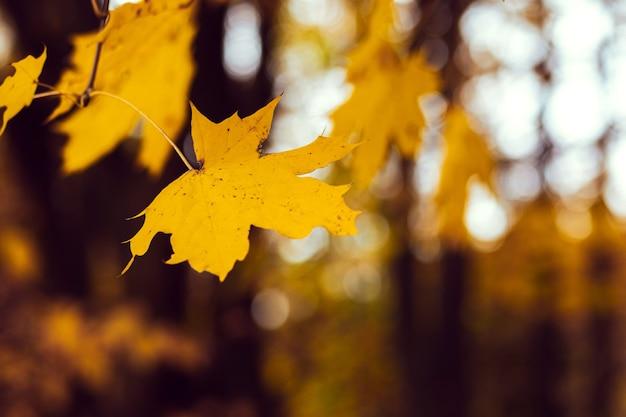 暗い背景の森に黄色いカエデの葉