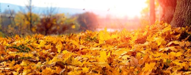 Желтые кленовые листья в лесу на земле при ярком вечернем солнечном свете