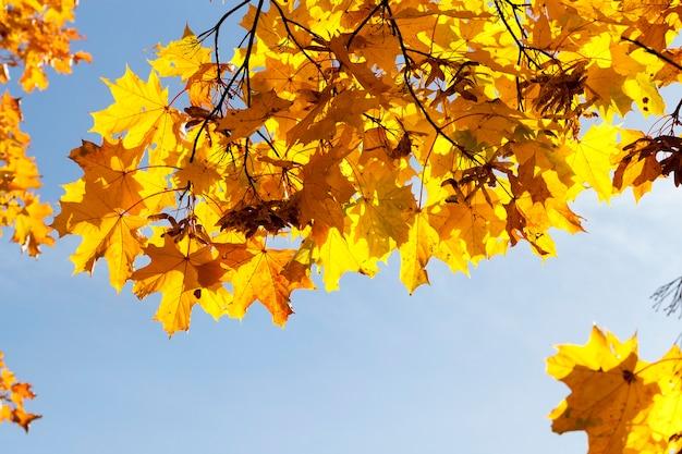 秋の季節の木にある黄色いカエデの葉。