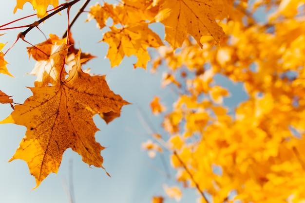 青い空の背景に黄色のカエデの葉