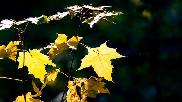 Желтые кленовые листья на темном фоне в солнечную погоду