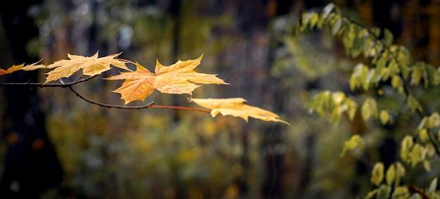 暗い秋の森の木に黄色いカエデの葉