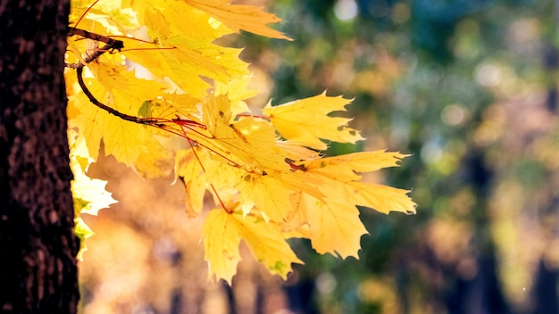 Желтые кленовые листья на дереве в лесу в солнечную погоду