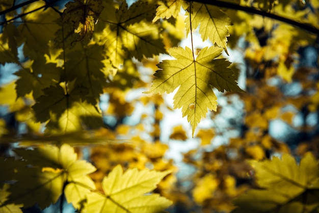 Yellow maple leaves on a sunny autumn day, natural backgrounds