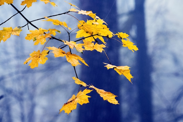 Yellow maple leaves on a tree on a blurred background in foggy weather