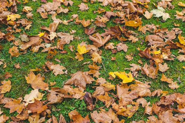 Yellow maple leaves with green grass background, golden autumn time, fall