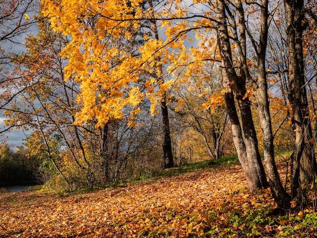 明るい自然の日当たりの良い秋の背景に黄色のカエデの木。