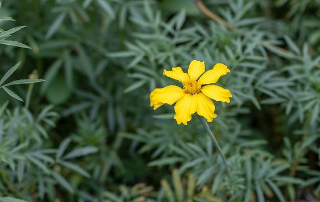 정원에 있는 노란 금잔화 꽃을 닫습니다.