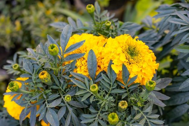 정원에서 꽃 봉 오리와 노란색 메리 골드 꽃 총을 닫습니다.