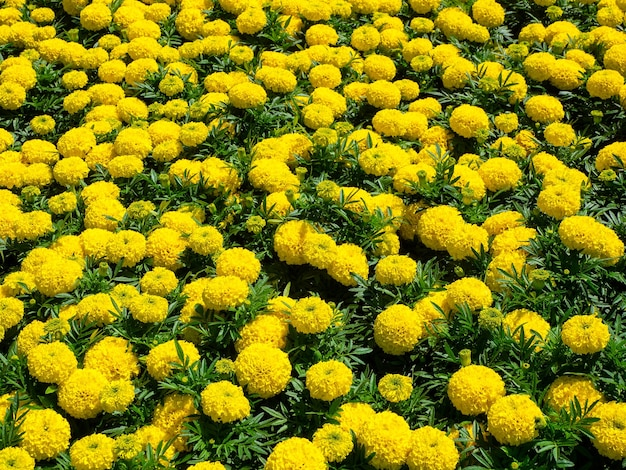 Цветок желтого календулы, желтый цветочный фон, клумба с пышными цветами.