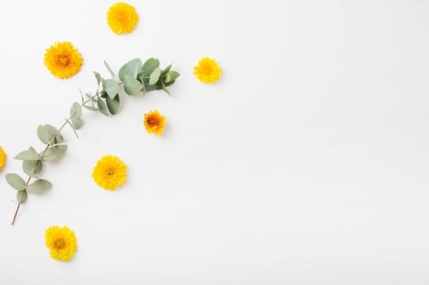 白い背景に黄色のマリーゴールドの花と枝