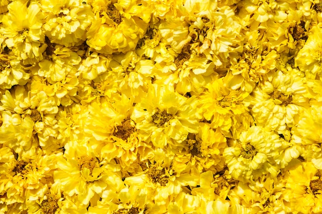 Yellow marigold flowers background.