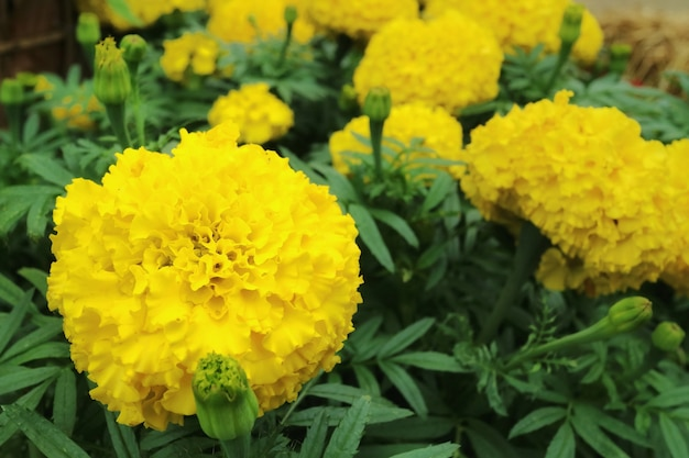 Yellow marigold flowers with green leaves background.