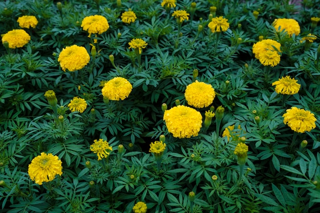 Yellow marigold garden