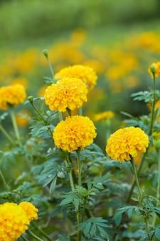 Yellow marigolds (tagetes erecta linn.)