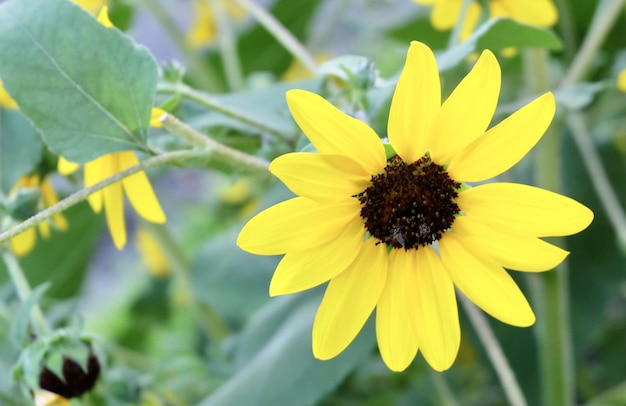 The yellow mexican sunflowers blooming in garden