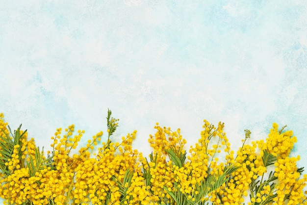Yellow mimosa flowers border on light blue wall. copy space, top view.