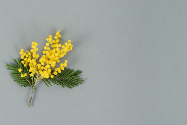 Yellow mimosa flowers on gray background. top view. copy space.