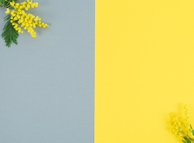 Yellow mimosa flowers on yellow and gray background. color of the year. copy space.