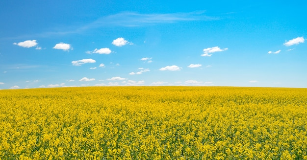 Yellow mustard field at the blue sky background