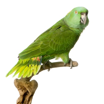 Yellow-naped parrot isolated
