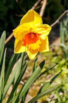 春の日に開花する黄色い水仙の花。一輪の花をクローズアップ。