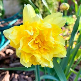 Yellow narcissus flower in garden