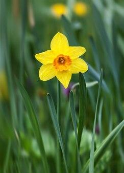 緑の草に黄色い水仙の花