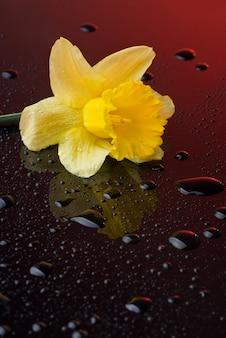 水滴と赤い表面の黄色い水仙