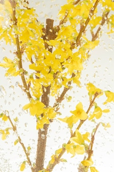 Yellow natural branch of forsythia flower