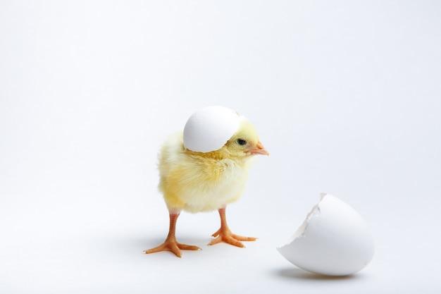 黄色の生まれたばかりのひよこと卵の殻