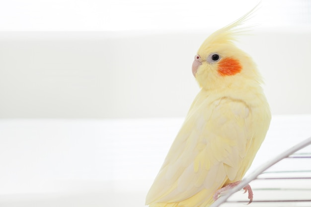 Yellow nymph cockatiel parrot on bird cage