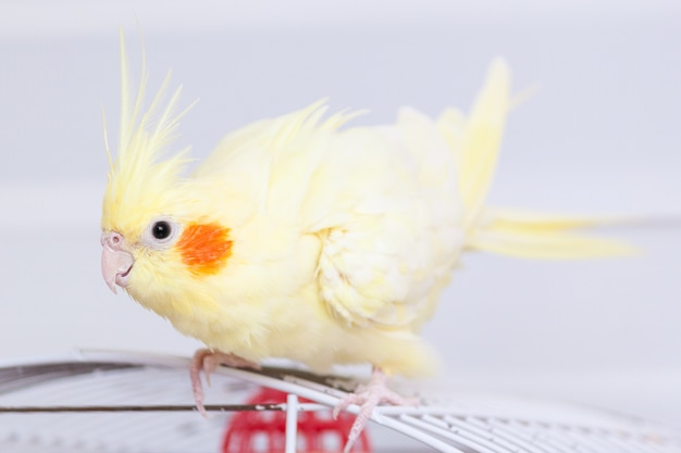 Yellow nymph cockatiel parrot on cage bird at home.