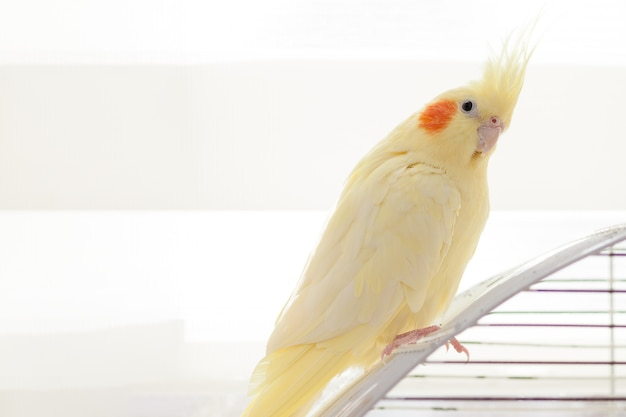 Желтая нимфа попугай корелла на птице клетки дома.