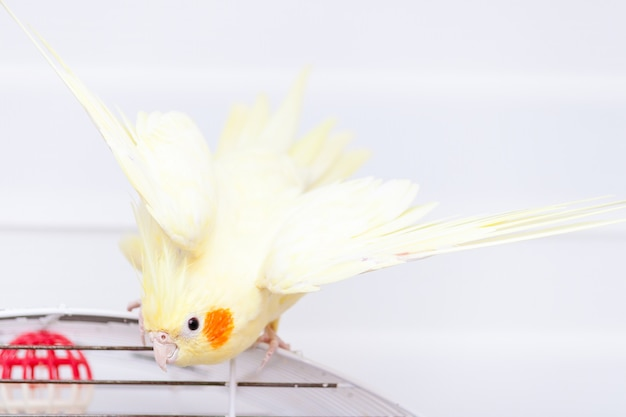 Желтый попугай cockatiel нимфы на птице клетки дома.