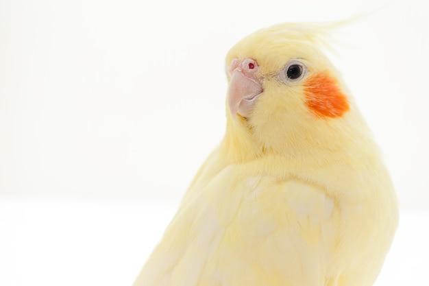 흰색 바탕에 노란색 요정 cockatiel 앵무새입니다.