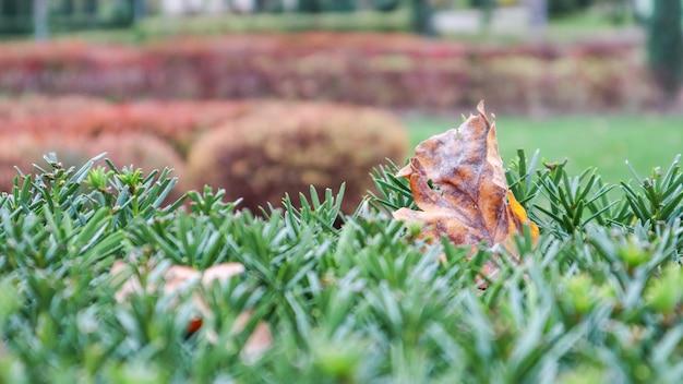 秋のクリスマスツリーの針に黄色いカシの葉。晴れた暖かい日に通りの緑の木に樫の葉を乾かします。秋と冬の背景。
