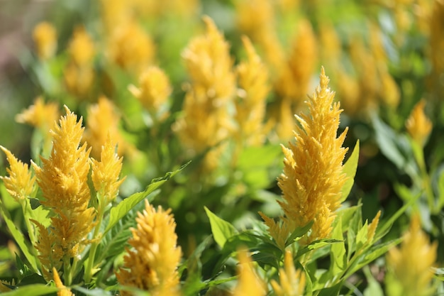 Желтый цветок петушиный гребень в цвету и утреннее солнце в цветнике.
