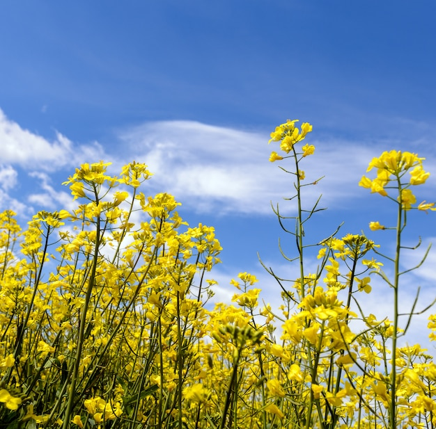 Yellow oilseed field under the blue sky