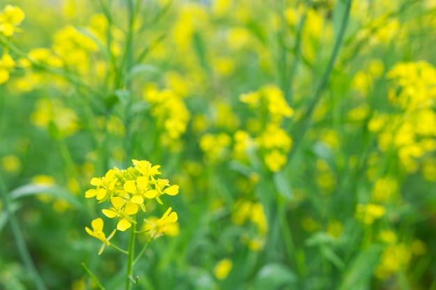 Yellow oilseed rape blossom