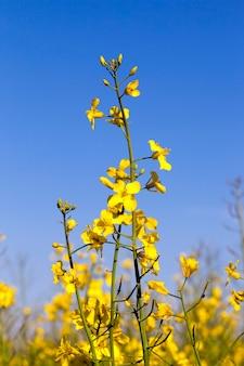 Желтый цветок масличного рапса, сфотографированный на фоне голубого неба