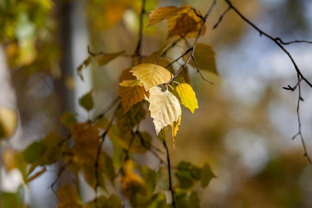 Желтые или сухие листья на ветвях деревьев в осенних листьях березовой липы