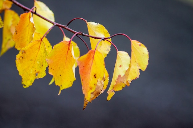 Yellow and orange autumn leaves on a dark background_